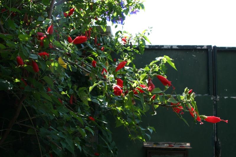 Malvaiviscus arboreus : l'Hibiscus dormant Malvav13