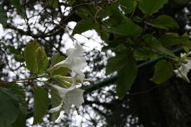 Mandevilla laxa, premières fleurs Mandev10