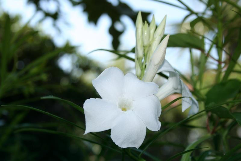Trois fleurs blanches cousines du Frangipanier Mandev16