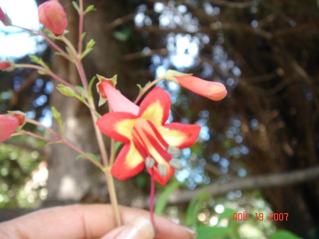 Devinette rouge!!! (Trouvé : Aeschynanthus 'Mona Lisa' + Phygelius capensis) Michel10