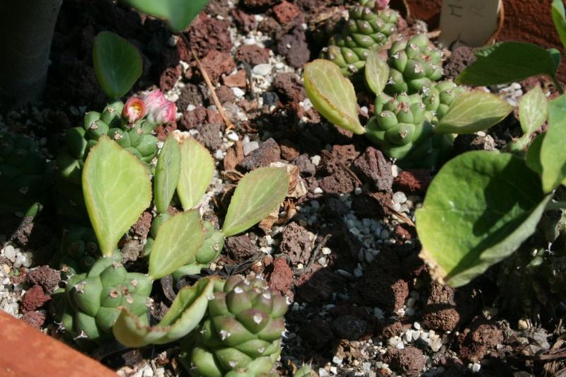 Monadenium ritchei Monade13