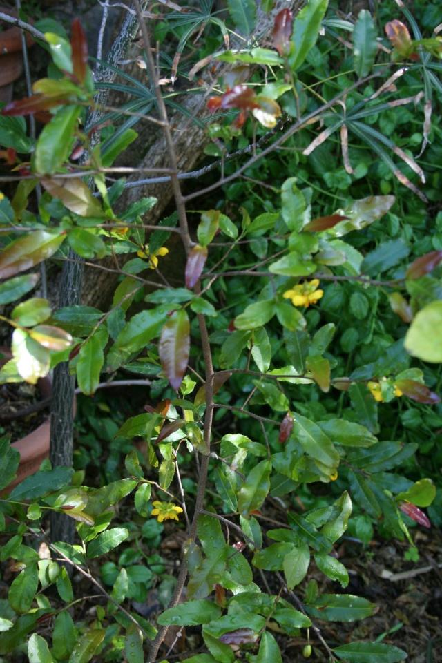 """Ochna serrulata, la """" plante à Mickey """" Ochna_10"""