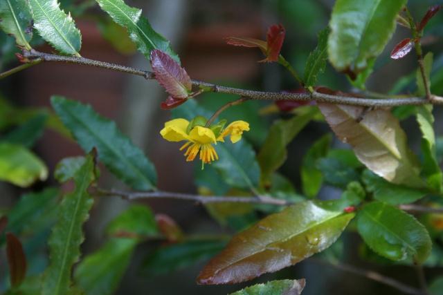 """Ochna serrulata, la """" plante à Mickey """" Ochna_11"""