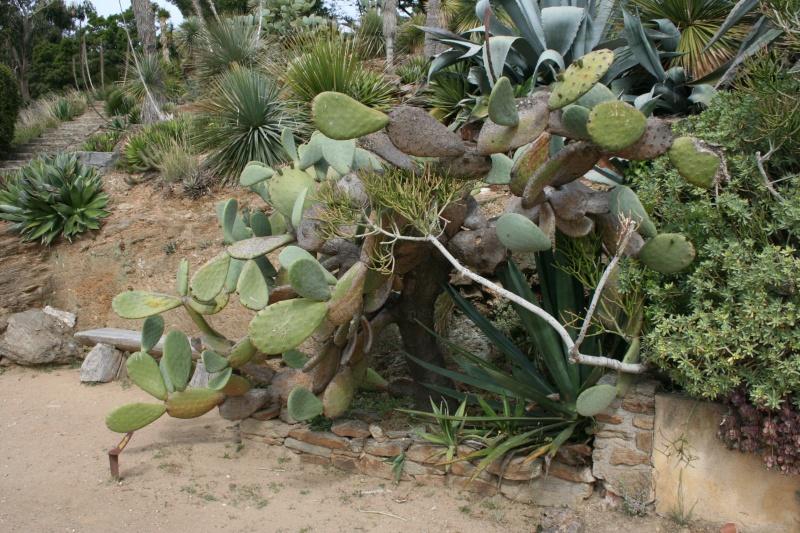 [Opuntia ficus-indica] une opuntia bahiensis ? Opunti11