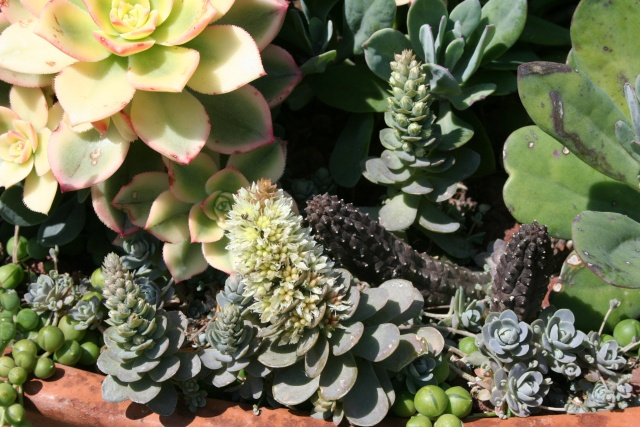 Floraison des Echeveria Orosta10
