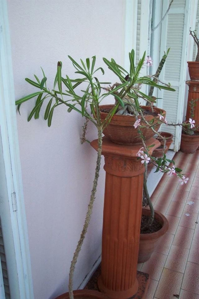 Pachypodium succulentum Pachyp20