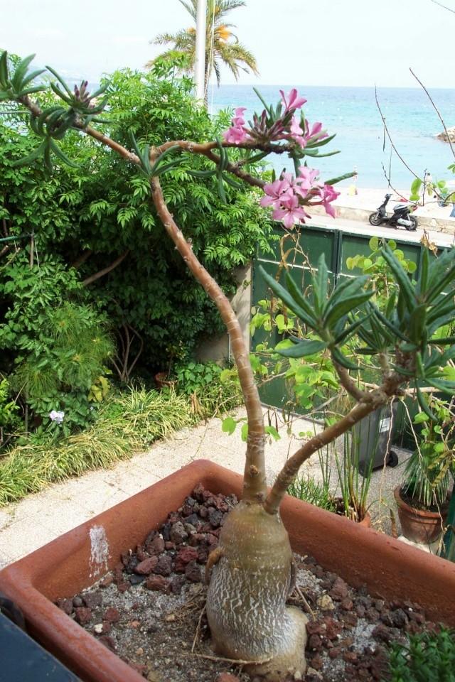 Pachypodium succulentum Pachyp22