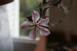 Pachypodium succulentum Pachyp23