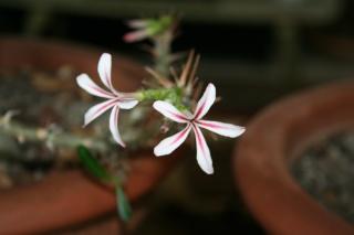 Pachypodium succulentum Pachyp24