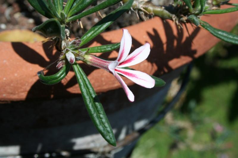 Gros plan sur fleurs de frileuses du balcon Pachyp44