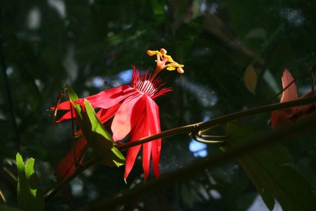 Passiflora (Fleur de la passion) Passif10