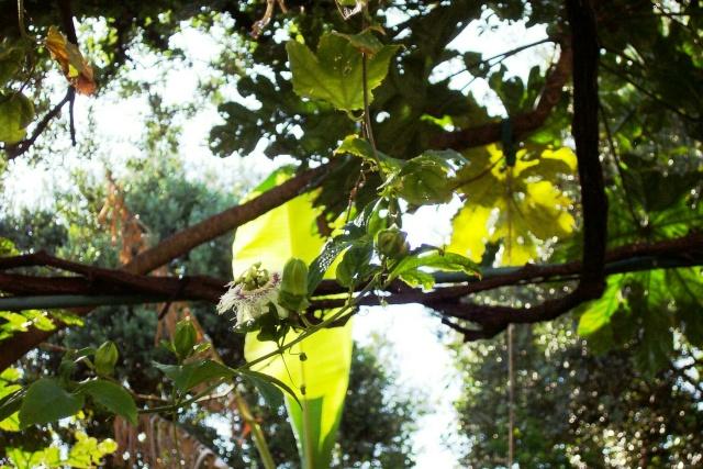 Passiflora (Fleur de la passion) Passif11