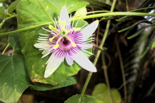 Passiflora (Fleur de la passion) Passif12