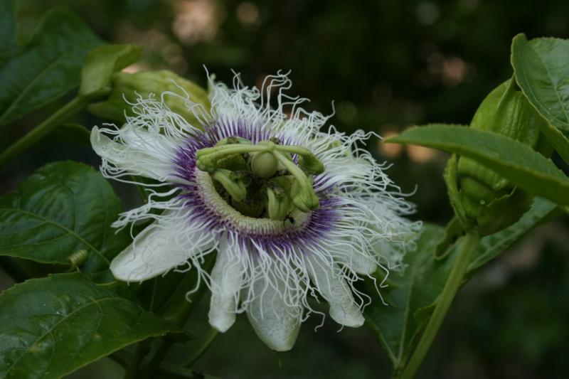 Passiflora edulis, toute première fleur de la saison Passif39