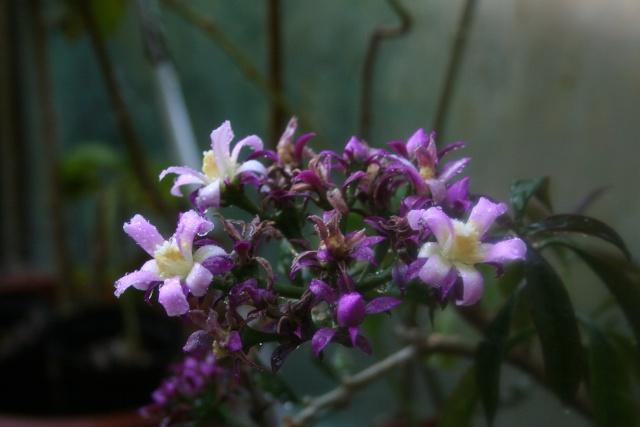 Pereskia grandifolia var violacea Peresk13