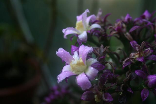 Pereskia grandifolia var violacea Peresk14