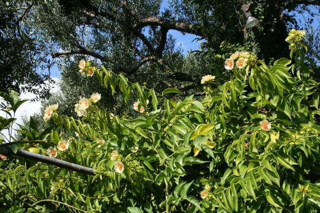 Pereskia aculeata enfin en fleurs Peresk16