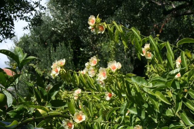 Pereskia aculeata enfin en fleurs Peresk17