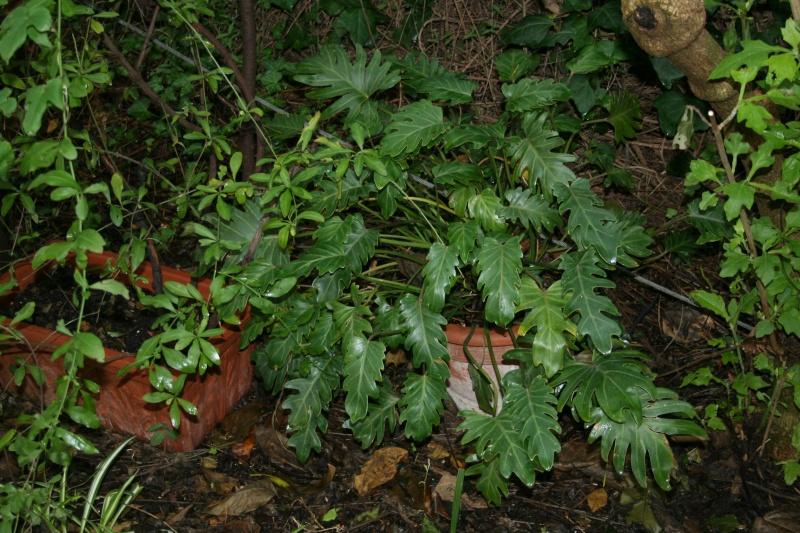 rhaphidophora tetrasperma Philod12