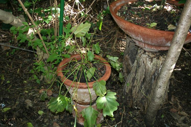 rhaphidophora tetrasperma Philod13