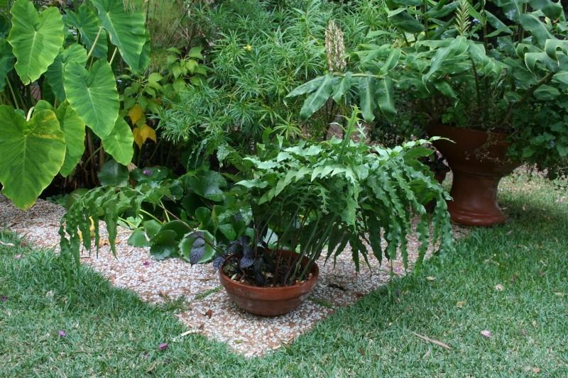 Aglaomorpha (fougère tropicale) Phlebo13