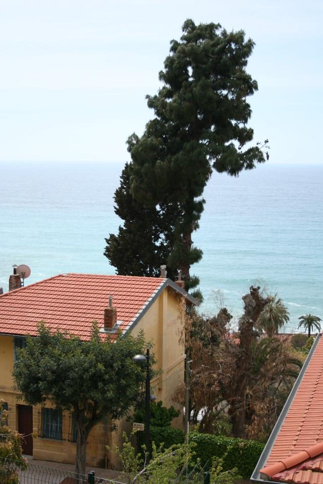Pinus canariensis Pinus_10