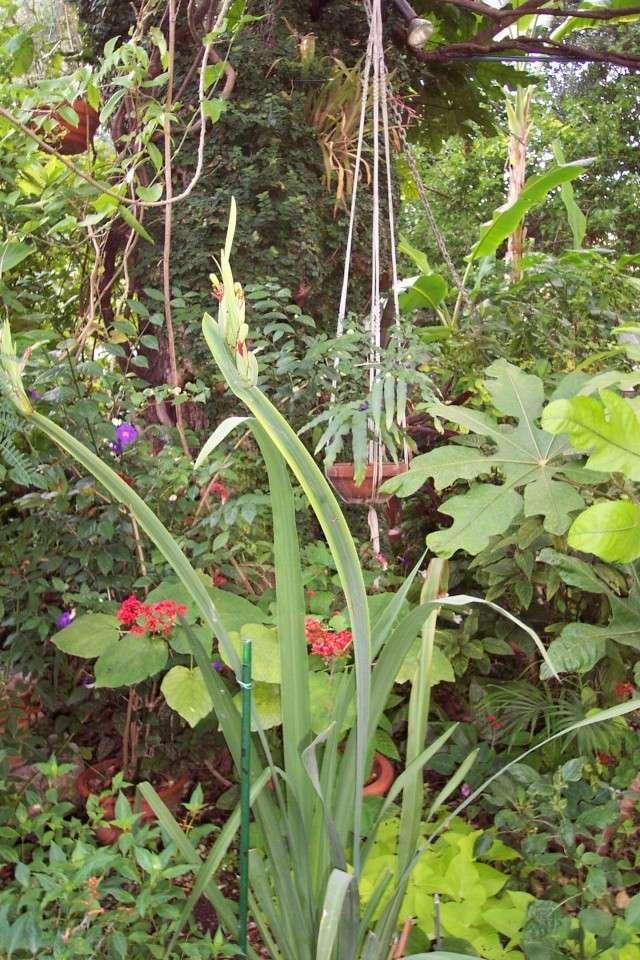Ficus pumila (Figuier nain ou rampant) Plate_10