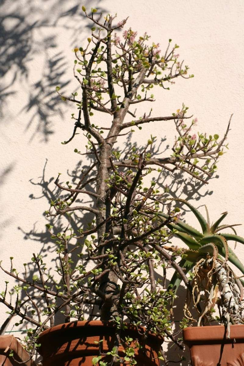 Portulacaria afra en fleurs Portul11