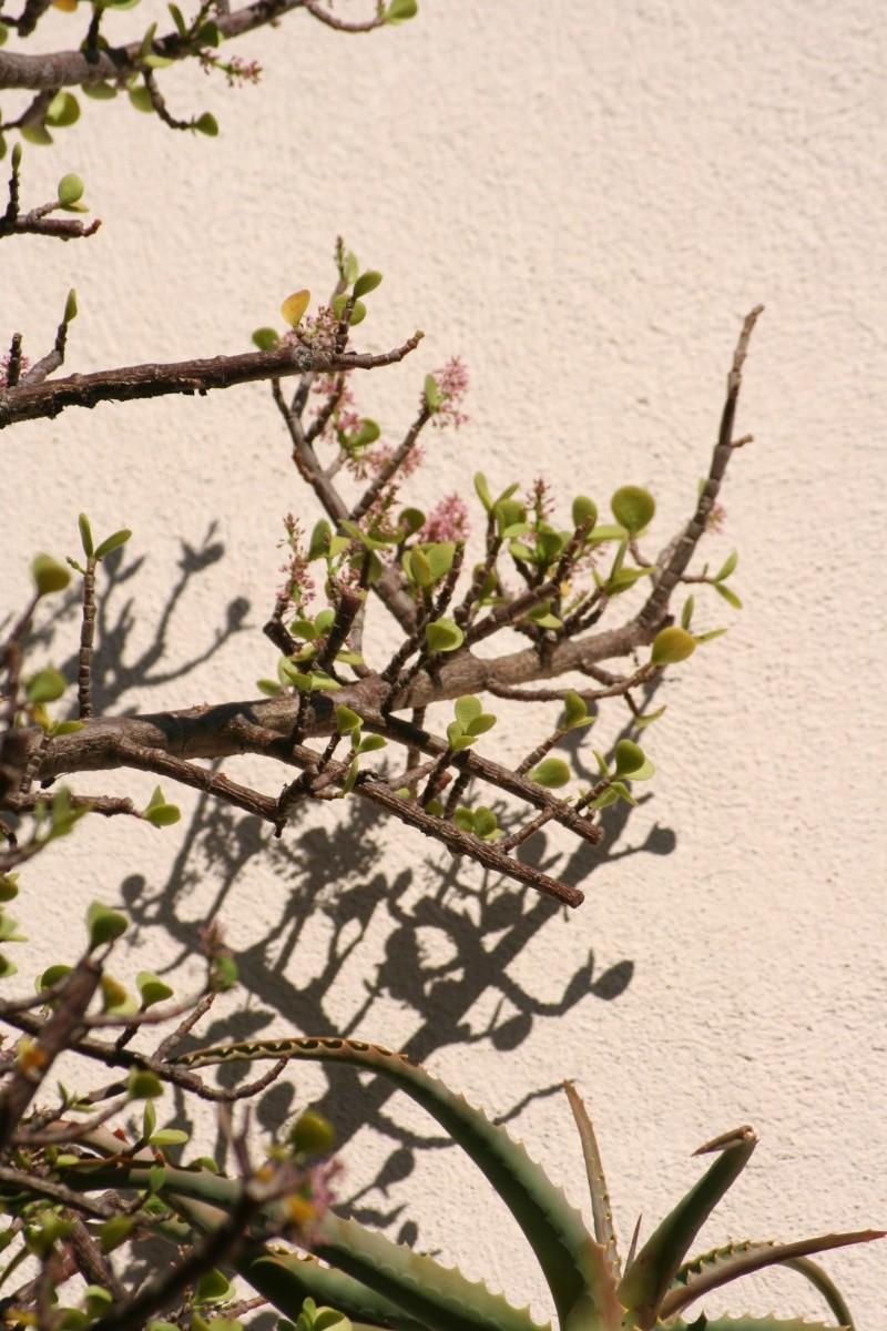 Portulacaria afra en fleurs Portul12