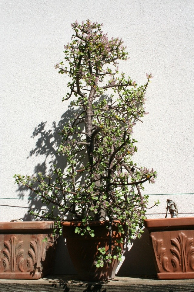 Portulacaria afra en fleurs Portul13