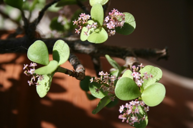 Portulacaria afra en fleurs Portul14
