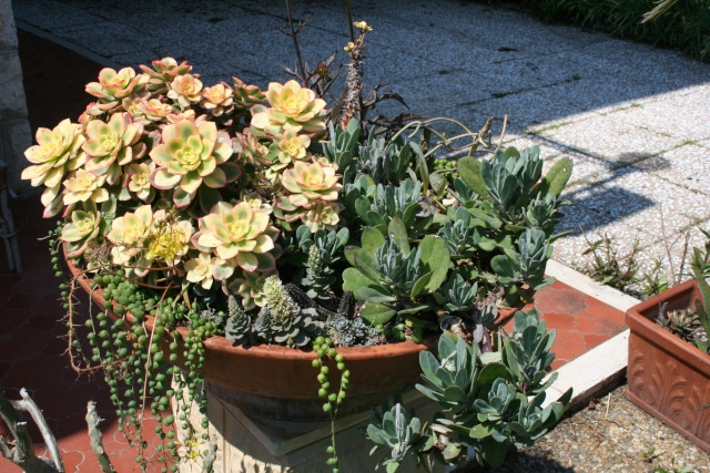 Floraison des Echeveria Premie11