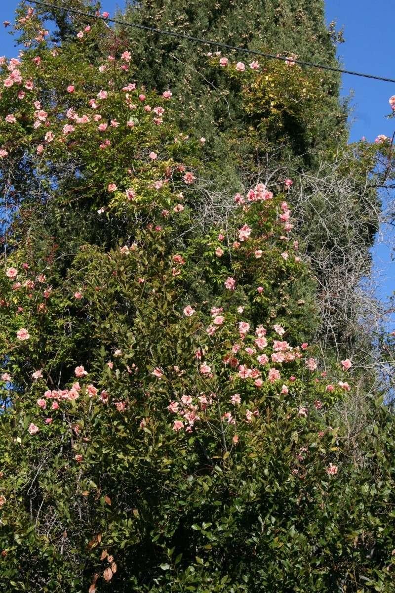 Un rosier d'exception créé pour la Côte d'Azur , le ' Senateur Lafolette ' Rosier11