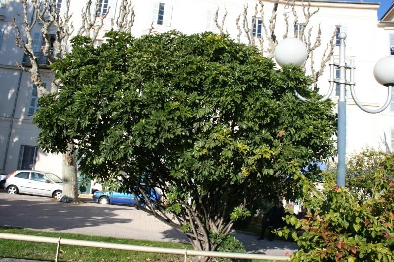 Schefflera arboricola Scheff11