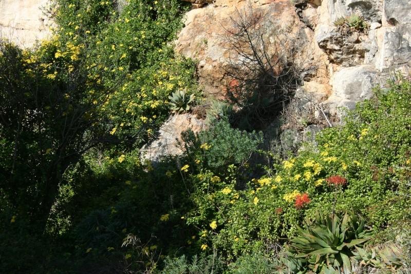 Farfugium japonicum, vraiment décorative... et rustique Seneci55