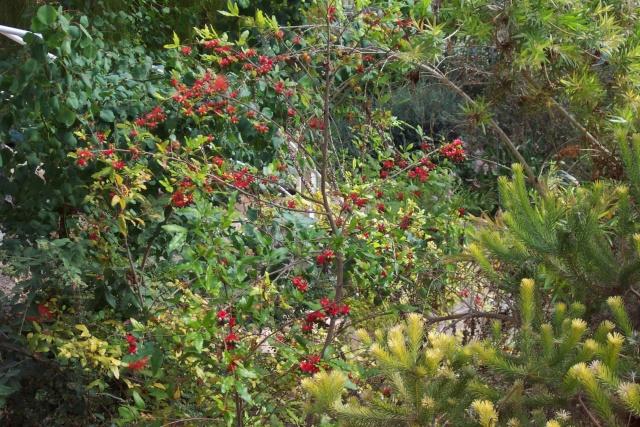 """Ochna serrulata, la """" plante à Mickey """" Serre_13"""