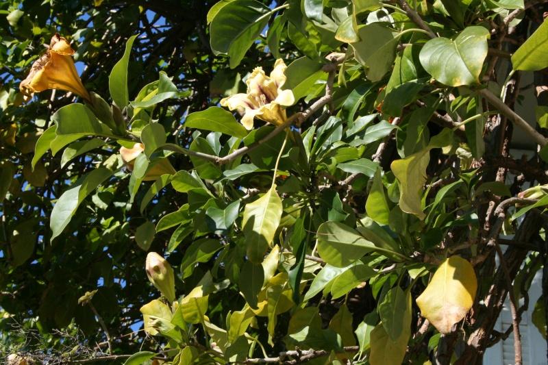 solandra et billbergia Soland13