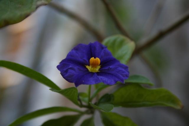 Un peu de bleu dans le jardin Solanu11