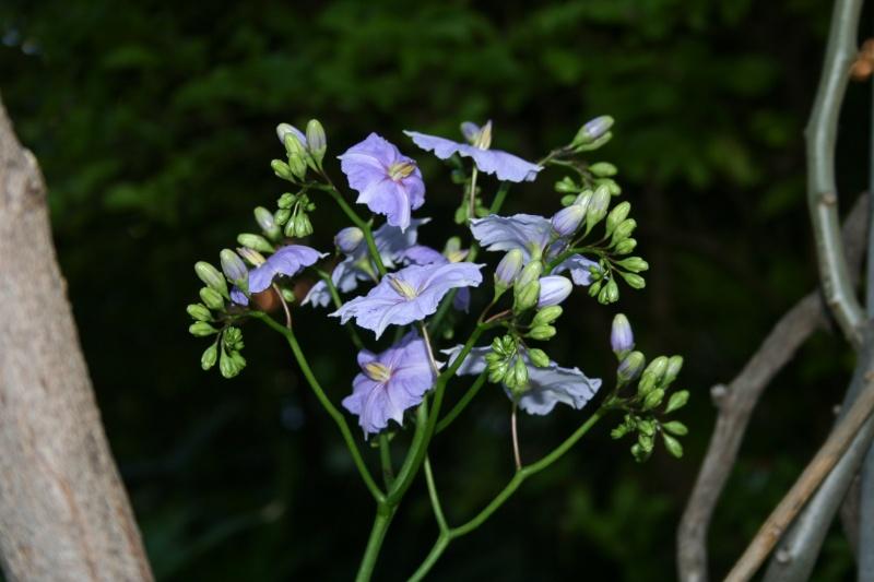 Premières fleurs sur ma liane du paradis Solanu22
