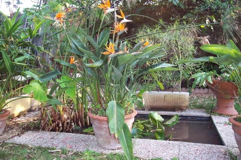 Strelitzia parviflora Streli15