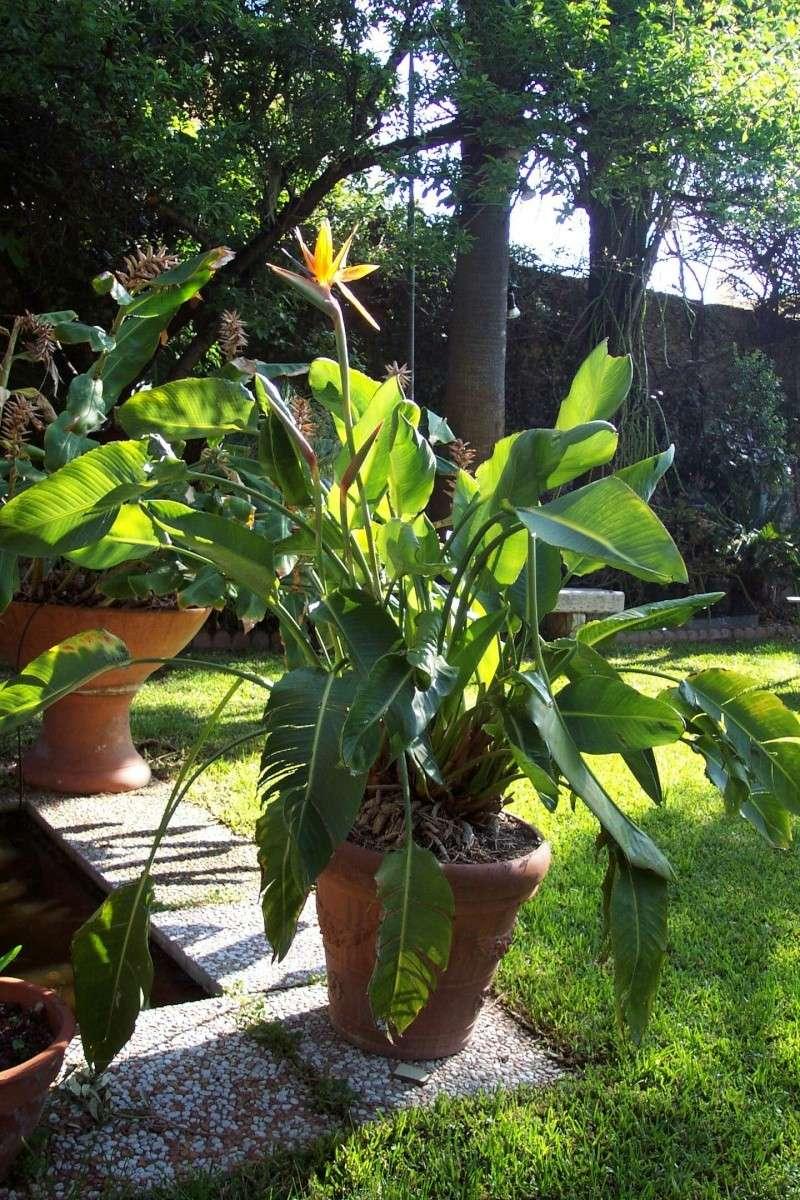 Strelitzia parviflora Streli16