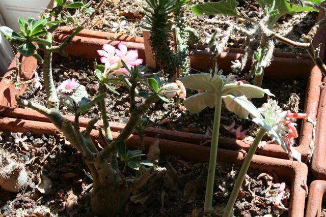 Des fleurs sur mes succulentes frileuses Succul10
