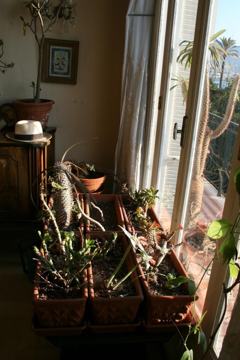 Une succulente que j'adore: Sinningia canescens Succul12