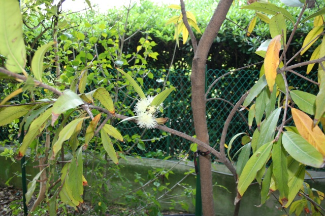 Syzygium jambos, la Pomme Rose Syzygi12