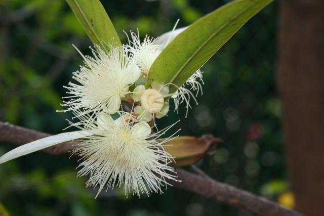 Syzygium jambos, la Pomme Rose Syzygi13