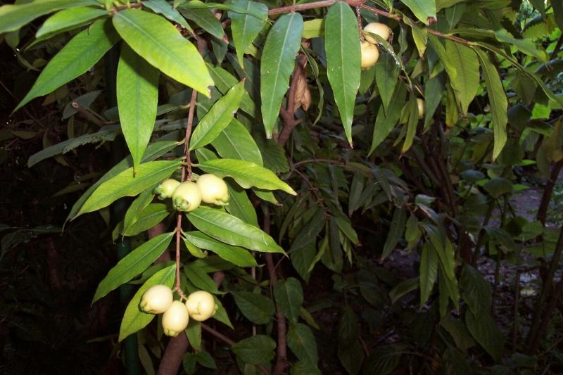 Syzygium malaccense Syzygi15