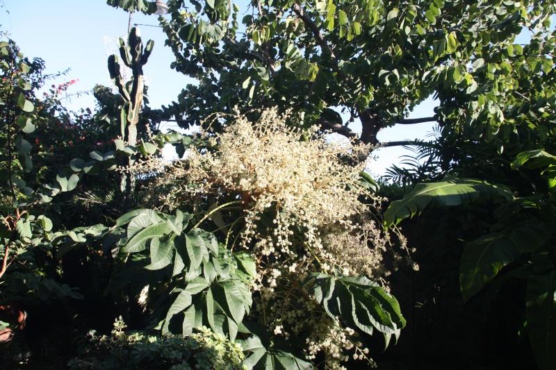 Tetrapanx papyfer, floraison splendide en décembre Tetrap12