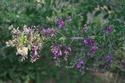 Hedysarum multijugum Lesped10