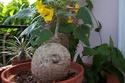 Début des plantes ramenées de Couleurs Cactus ............... et fin Pedali12