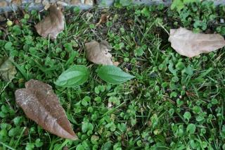 Recherche couroupita guianensis et thunbergia grandiflora... Thunbe10